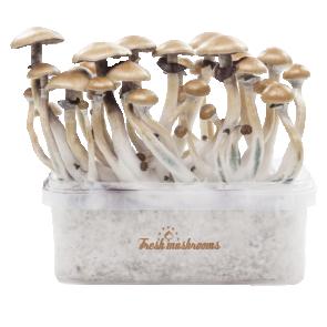 Magic mushroom grow kit McKennaii