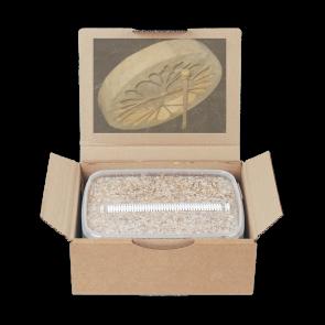 Magic Mushroom Grow Kit Golden Teacher