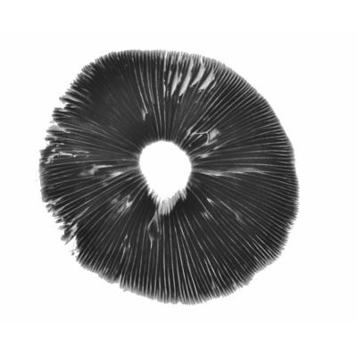 Magic Mushroom spore print | Goliath Copelandia | panaeolus cyanescens
