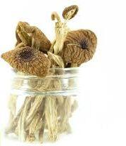 Psilocybe mexicana mushroom